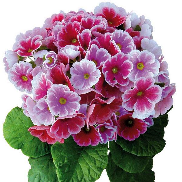 Примула обратноконическая сорт Primula Twilly Touch Me фото