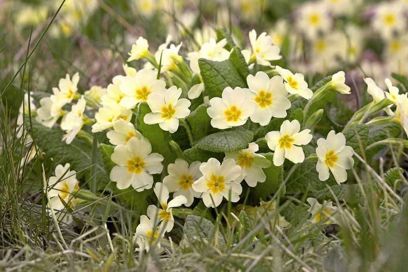 Примула обыкновенная или бесстебельная Primula vulgaris фото цветов