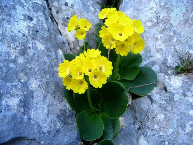 Примула ушковидная Primula auricula фото цветов