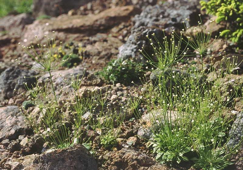 Проломник нитевидный Androsace filiformis фото