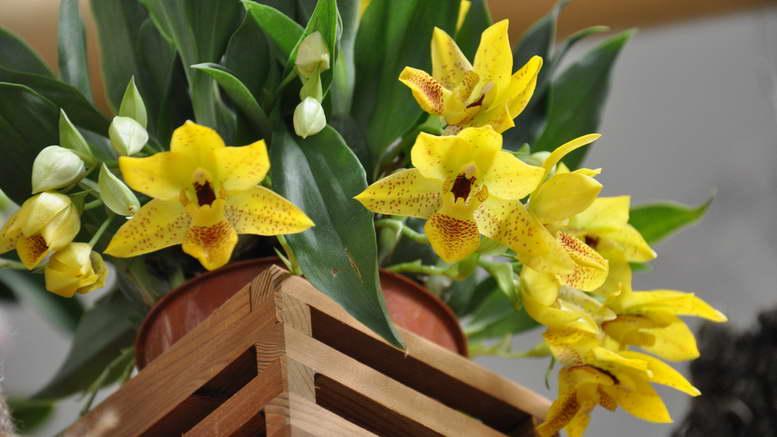 Променея орхидея уход в домашних условиях фото