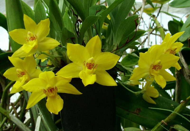 Променея золотисто-желтая Promenaea xanthina фото