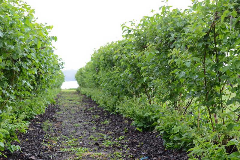 Промышленная плантация бойзеновой ягоды фото