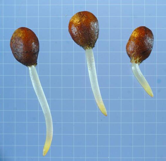 Пророщенные семена весенника или эрантиса фото