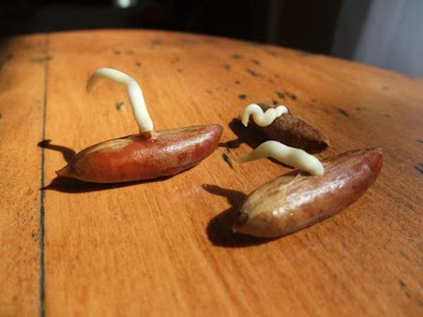 Проросшие косточки финиковой пальмы