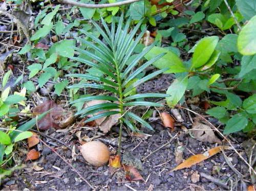 Проросший цикас в дикой природе Фото молодого растения