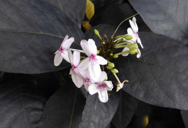 Псевдоэрантемум Кью Pseuderanthemum kewense фото
