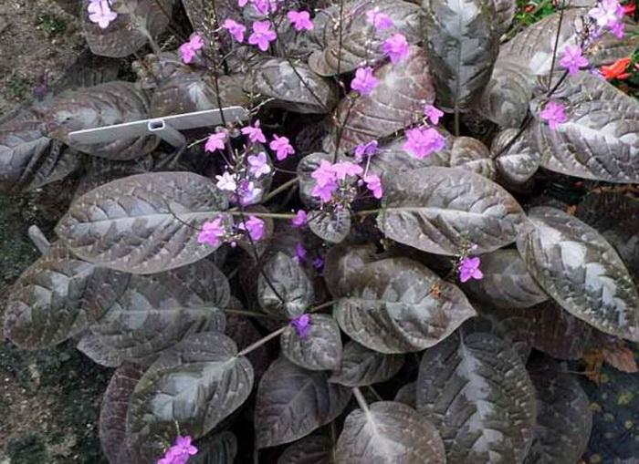 Псевдоэрантемум алатумPseuderanthemum alatum