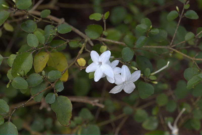 Псевдоэрантемум бугорчатыйPseuderanthemum tuberculatum фото