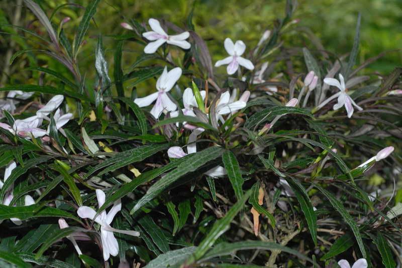 Псевдоэрантемум длинноцветковый Pseuderanthemum longifolium фото
