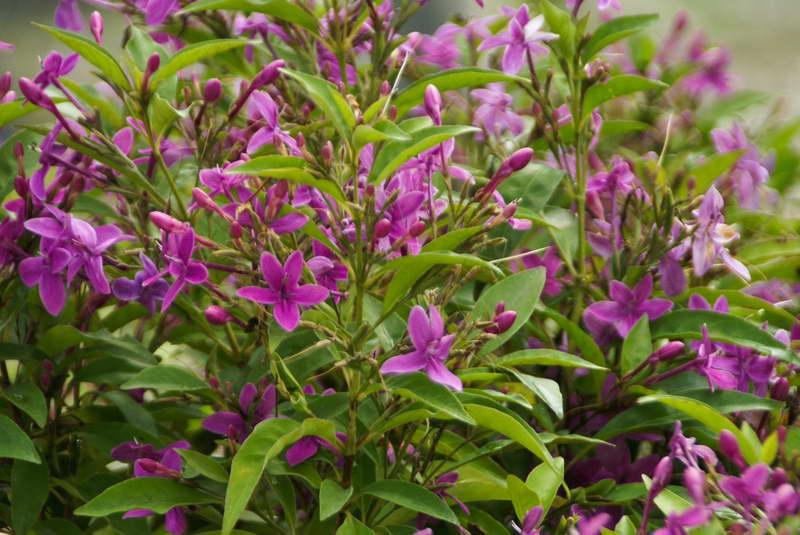 Псевдоэрантемум лаксифлорумPseuderanthemum laxiflorum фото