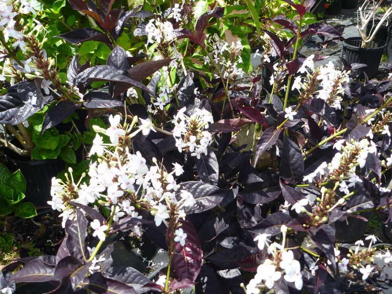 Псевдоэрантемум нигрум Pseuderanthemum nigrum сорт 'Black Magic' фото