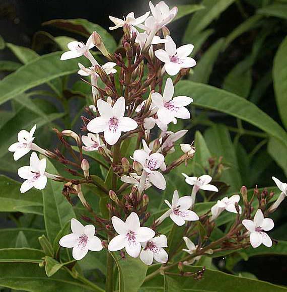 Псевдоэрантемум щетинисто-чашечковый Pseuderanthemum seticalyx фото