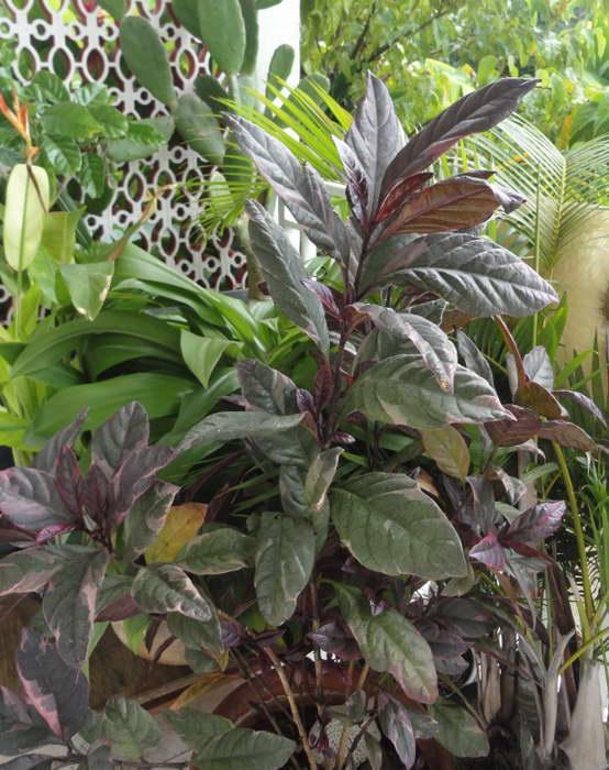 Псевдоэрантемум триколор Pseuderanthemum atropurpureum 'Tricolor' фото