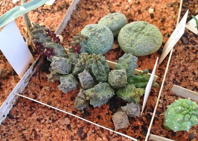 Псевдолитос маккои Pseudolithos mccoyi фото