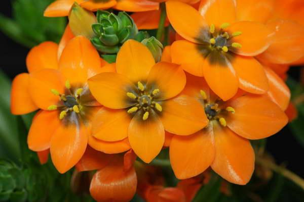 Птицемлечник оранжевый Ornithogalum dubium фото