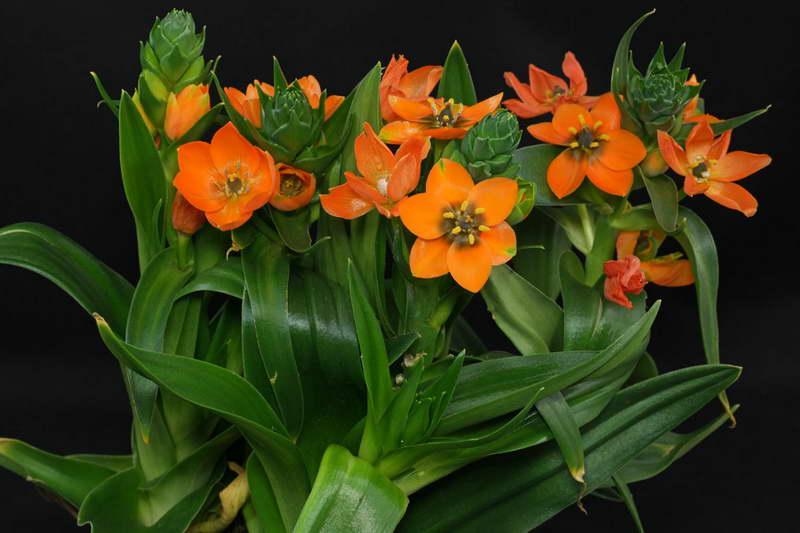 Птицемлечник орнитогалум оранжевый уход в домашних условиях Ornithogalum dubium фото цветов