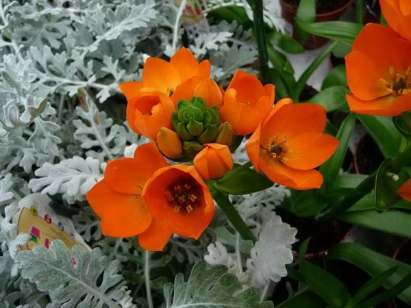 Птицемлечник оранжевый в ландшафтном дизайне фото на клумбе