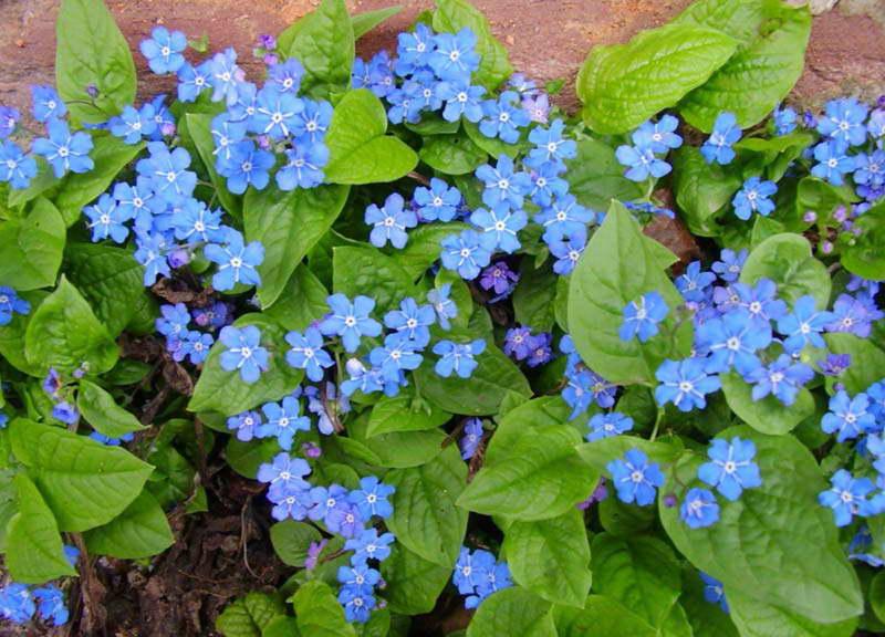 Пупочник весенний Omphalodes verna фото