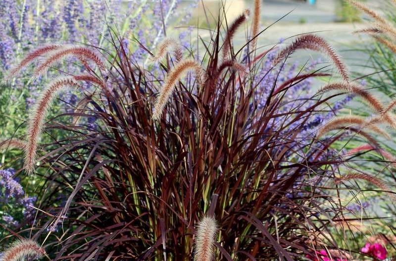 Пурпурный перистощетинник на клумбе с сальвией фото