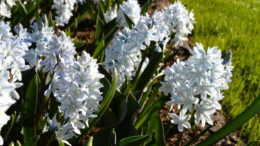 Пушкиния фото цветов Когда сажать пушкинию осенью сроки