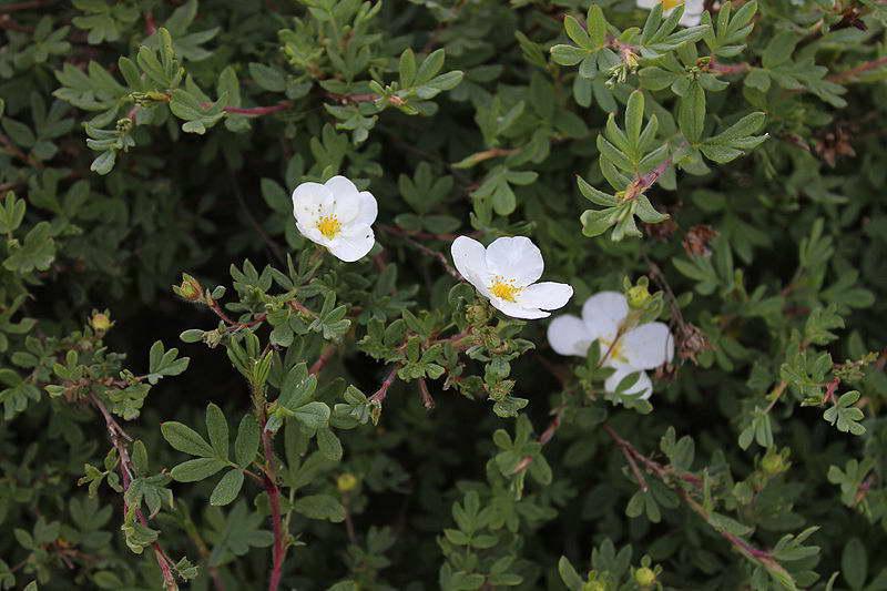 Пятилисточник даурский Pentaphylloides davurica фото