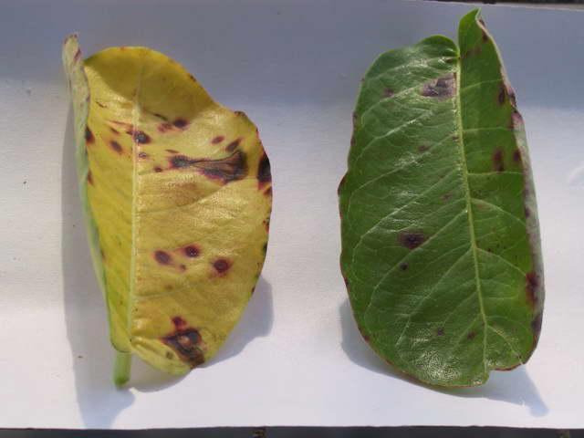 Пятнистость листьев и пожелтение на дипладении мандевилле - грибок Cercospera фото