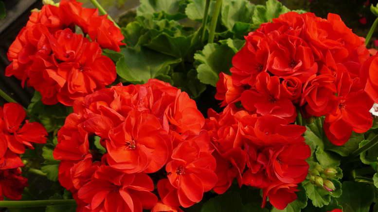 Пышное цветение герани Как ухаживать за геранью на фото сорт Geranium Calliope Dark Red