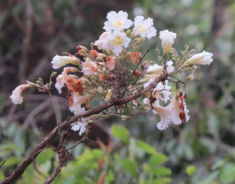 Радермахера древесноплодная Radermachera xelocarpa фото