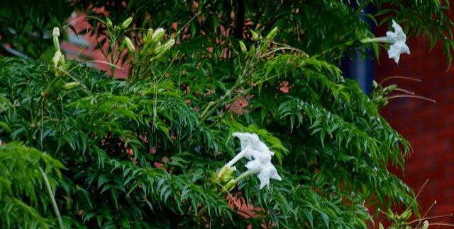 Радермахера китайская фото цветения