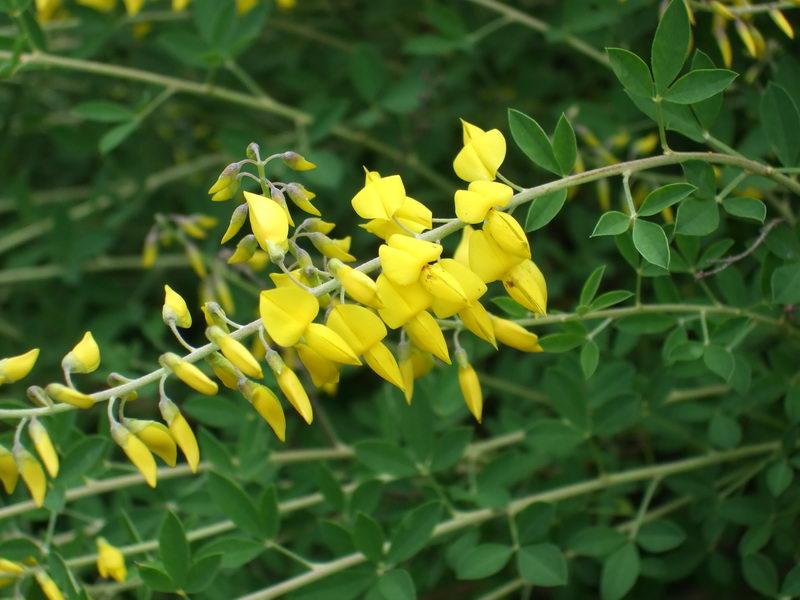 Ракитник чернеющий Cytisus nigricans фото