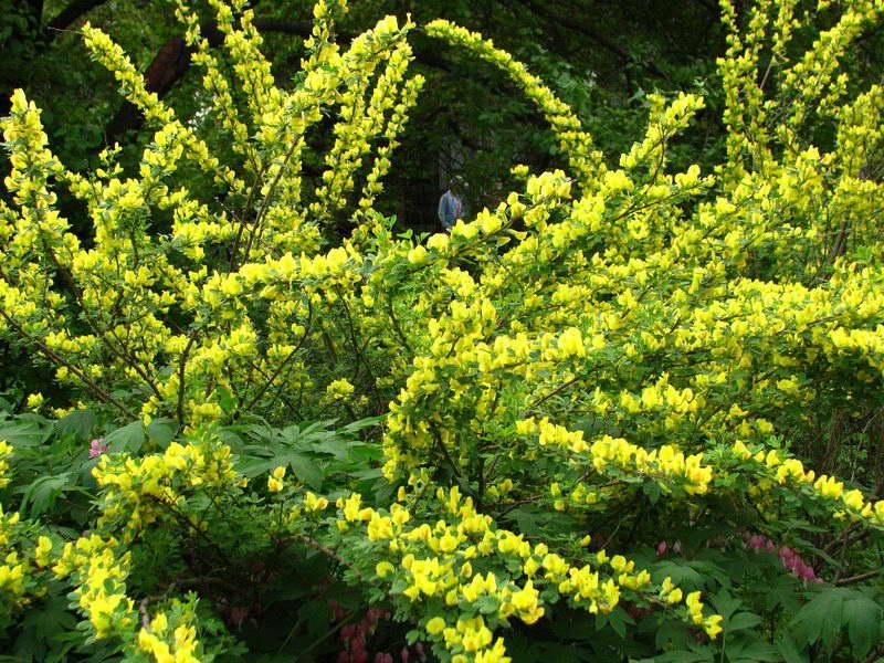 Ракитник русский Cytisus ruthenicus фото в цвету