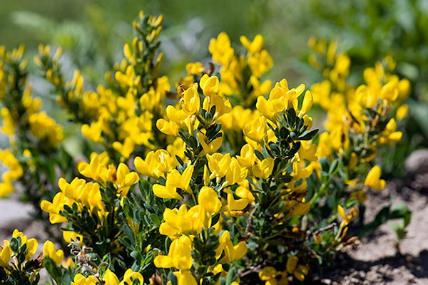 Ракитник стелющийся Cytisus decumbens фото