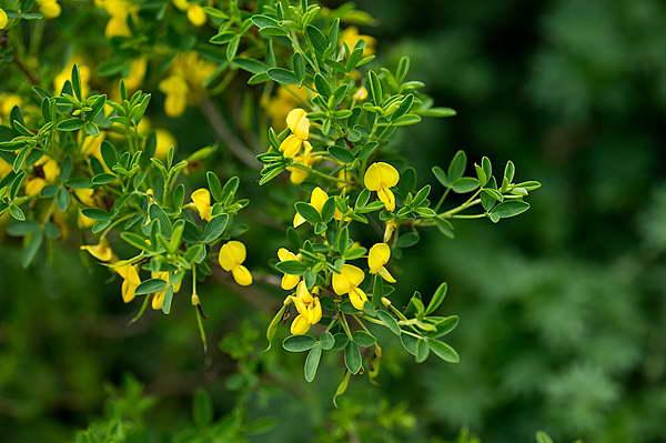 Ракитник выступающецветковый Cytisus emeriflorus фото