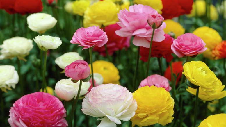 Ранункулюс фото посадка уход Фото цветов