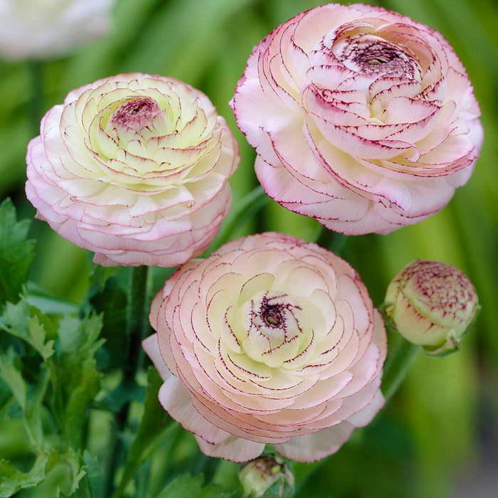 Ранункулюс персидский Ranunculus Persian фото