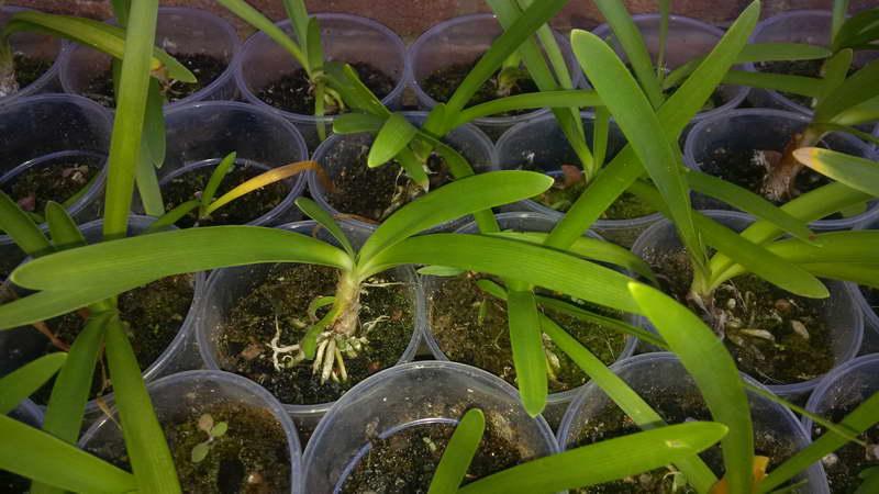 Рассада агапантуса готова к высадке в грунт фото