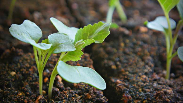 Рассада капусты выращивание в домашних условиях фото и видео