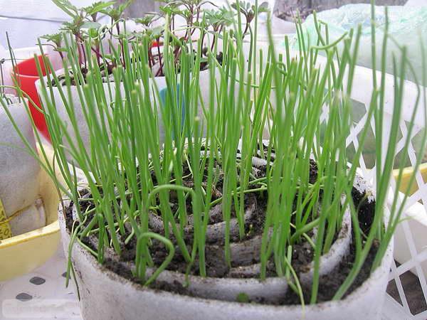 Рассаду шнитт лука очень удобно выращивать в улитке фото