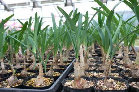 Рассаженные луковицы нерине фото