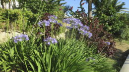 Растение агапантус посадка и уход в открытом грунте фото