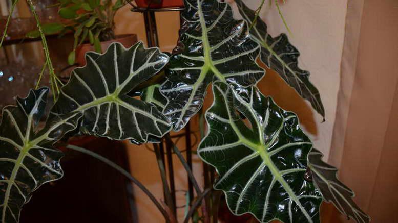 Растение алоказия уход и размножение в домашних условиях фото цветка