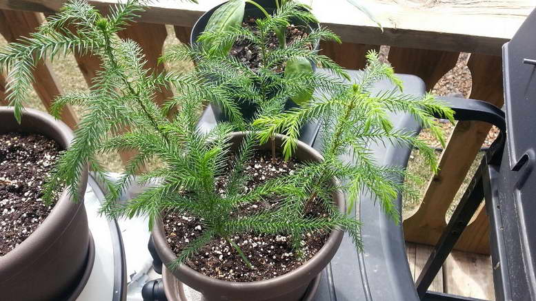 Растение араукария уход в домашних условиях фото