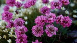 Растение армерия альпийская Armeria alpina