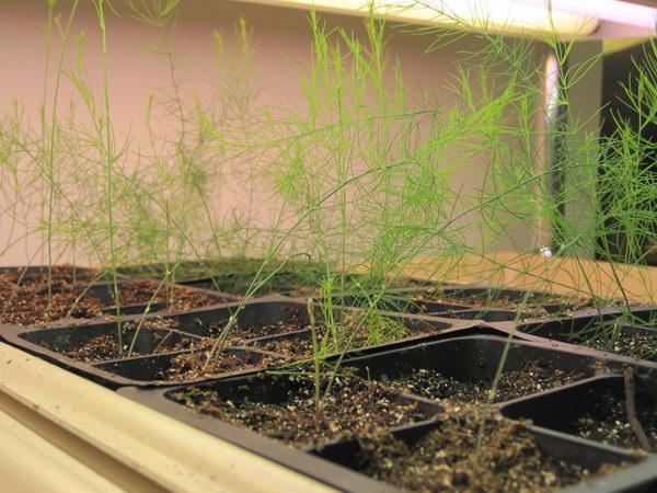 Растение аспарагус из семян в домашних условиях фото