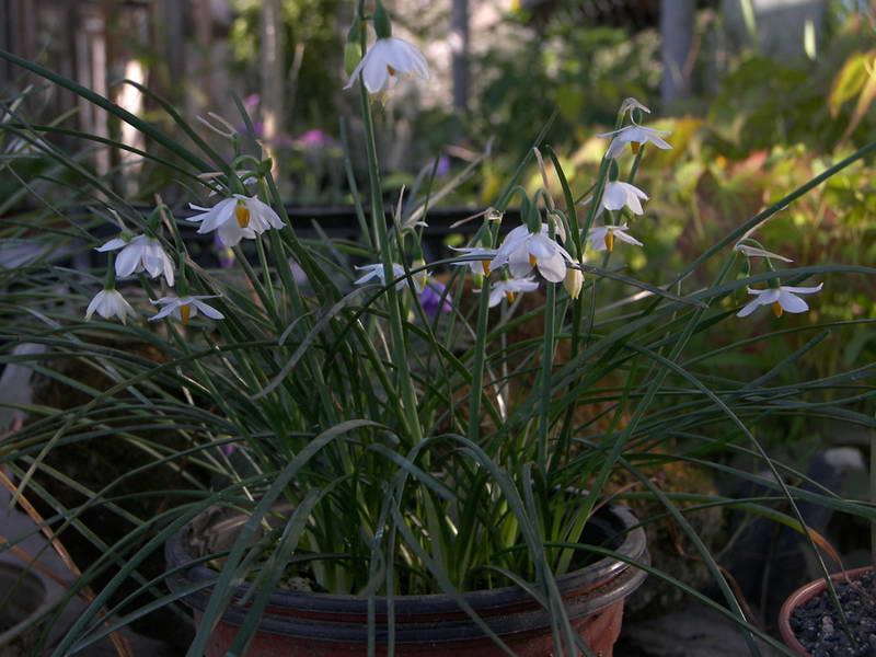 Растение белоцветник травянистые растения для открытого грунта фото