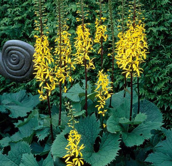Растение бузульник узколистный Зе рокет ракета Yellow Ligularia stenocephala The Rocket в дизайне сада фото Посадка и уход