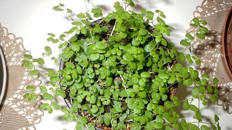 Растение мюленбекия ампельная уход в домашних условиях фото