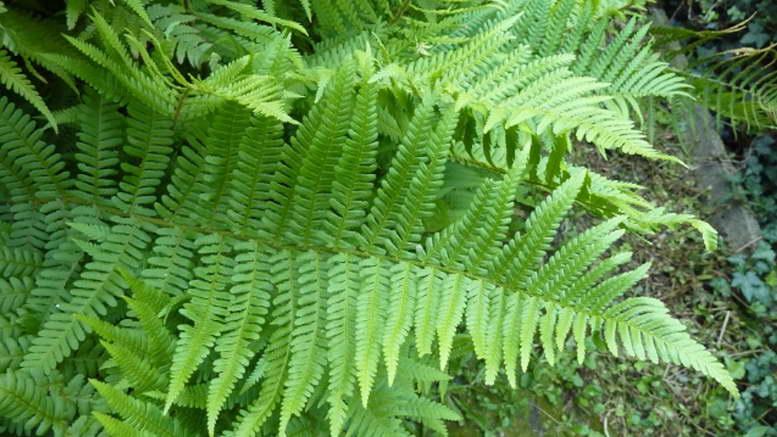 Растение папоротник орляк фото в саду