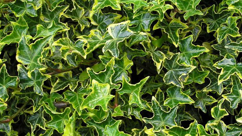 Растение плющ обыкновенный на фото сорт Hedera helix 'Halebob'